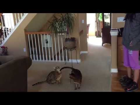 Amazing athleticism - Bengal cats jumping - leaping