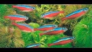 Неоновые рыбки Уход и содержание