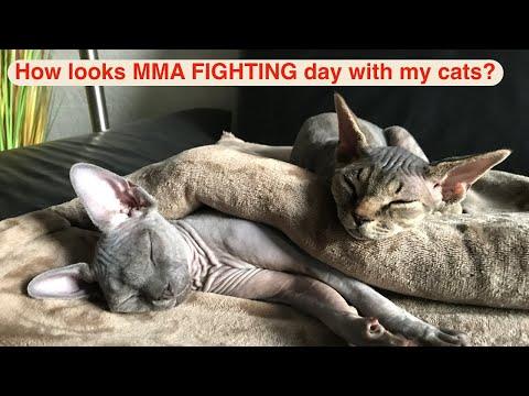 Devon Rex cat - Vol.  4 - MMA FIGHTING day