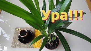 видео Комнатная пальма Арека или Хризалидокарпус — уход в домашних условиях.