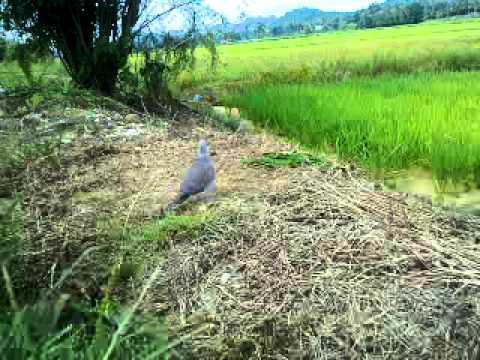 Download Terkukur Sook-hobi MP3 Terbaru   BOSMP3