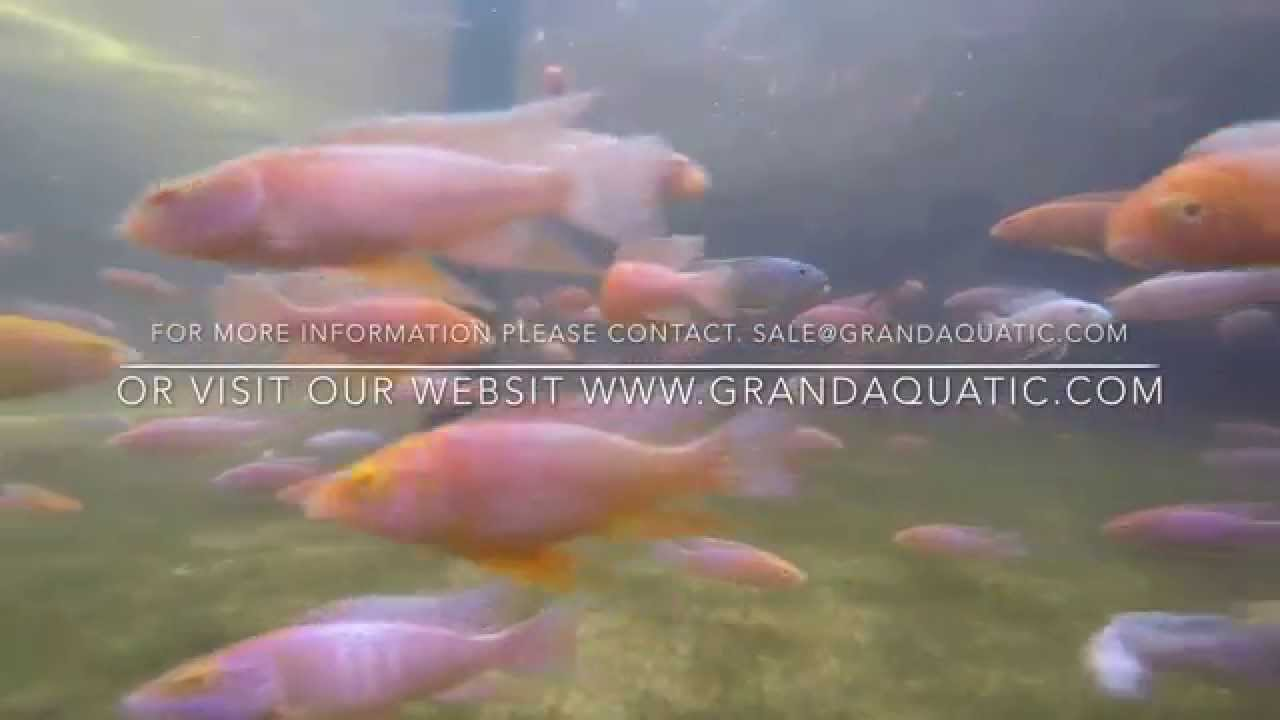AsiaTropicalFish - Aquarium Fish & Ornamental Fish Exporter