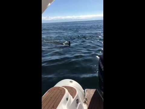 Orcas hunting seal jumps in boat PART 2