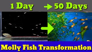 Transformation Of Molly Fish | From Day 1 - Day 50