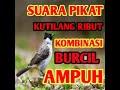 Suara Pikat Kutilang Ribut Kombinasi Burcil Ampuh  Mp3 - Mp4 Download