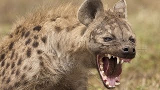 Пятнистая гиена - Spotted Hyena (Энциклопедия животных)