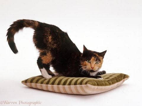 Specific Characteristics and Special Personality of Tortoiseshella | Tortoiseshell Cat Breed