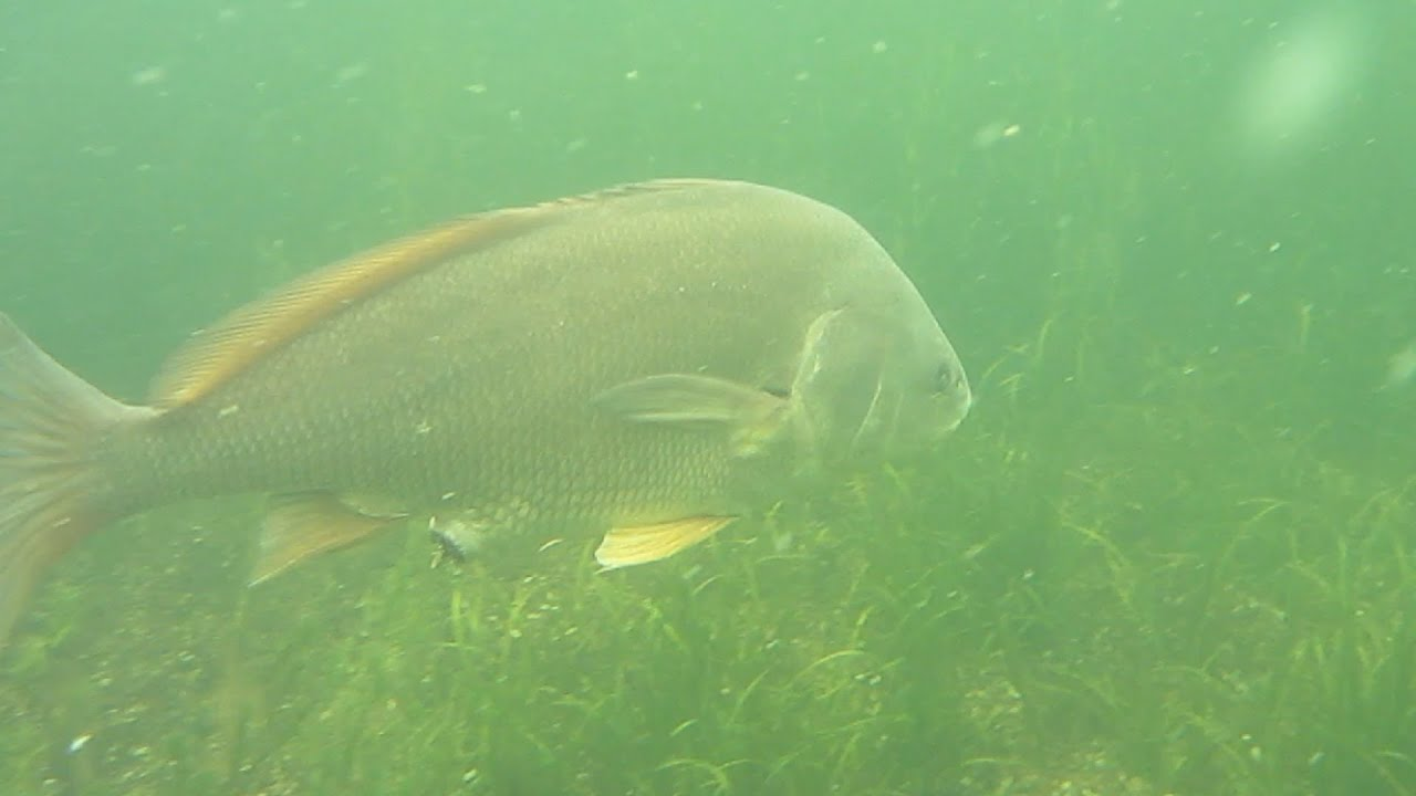 I see fish people freshwater drum youtube for How to cook drum fish