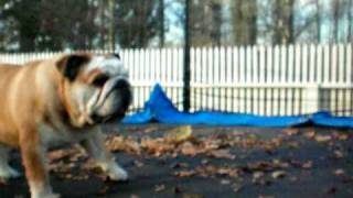 Bulldog On Trampoline 4