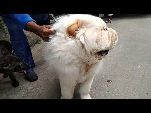 Chow Chow Dog @ Vet in Dhaka City @ Dr. Sagir's Pet Clinic 01912251312