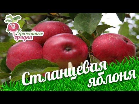 Стланцевая яблоня