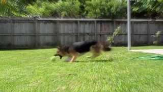 German Shepherd Natural  Beauty  At Slow Motion