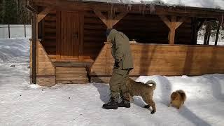 Дрессировка кавказская овчарка