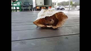 보리가 햄버거 포장봉투가 마음에 들었나 봅니다 ^^ (…