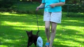 Glicks Standard Poodles Skyler Temperament Testing