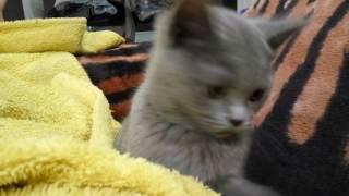 Британский котенок в 3 месяца
