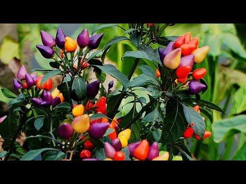 Обзор перца из серии УРОЖАЙ ДОМА | подоконнике | выращивать | выращиваем | круглый | растут | острые | супер | перцы | можно | дома