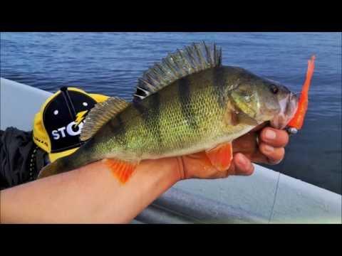 Perch Fishing In Estonia On Lake Peipus With STORM Softbaits