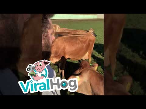 El Gallo Por La Mañana - Hombre Que Platica Con Las Vacas