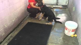 German Shepherd Puppies! Adopted