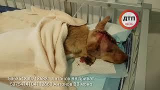 Видео из клиники и интервью хирурга:   Киев. Спасаем собаку Ромашку. Изверг проломил девочке голову.
