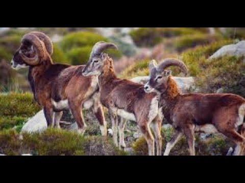 Verso Sera, Misa Urbano ospita Kim Bizzarri: lo sterminio dei mufloni all'Isola del Giglio