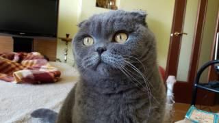 Cat and cookies - кошка и печеньки - scottish fold cat шотландская вислоухая кошка