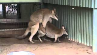 Repeat youtube video Kangaroo Mating In Wild life Park
