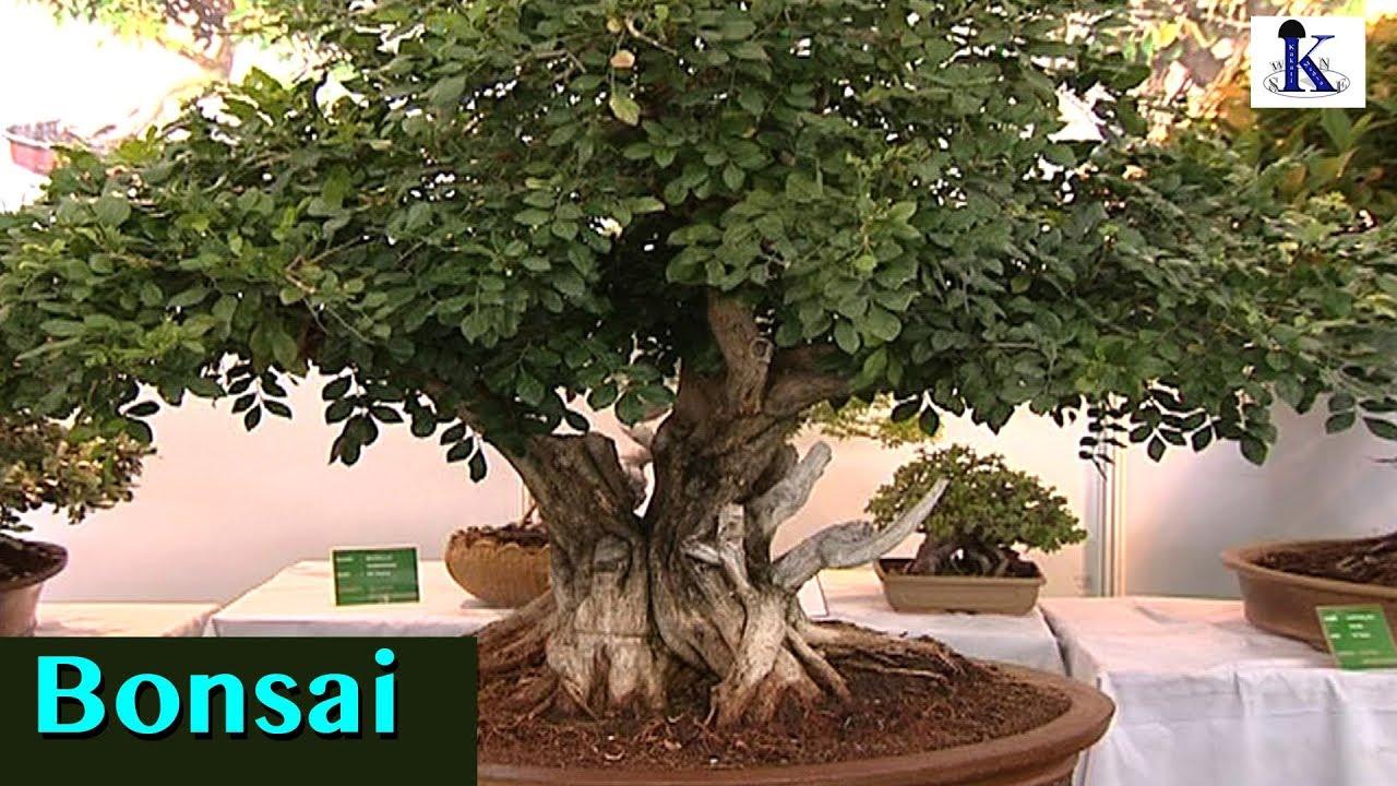 Bonsai - The Divine Dwarf of an Immense joy