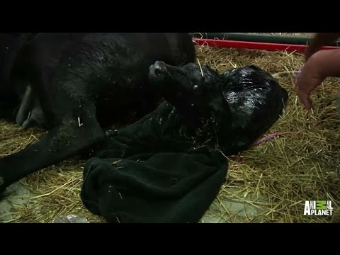 Eliza the Cow Gives Birth to Calf Ross | #LaborLive