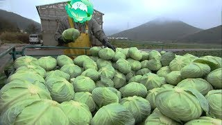 Awesome Cabbages Farming Agriculture Technology - Japan Cabbages Harvesting - Cabbages Cultivation
