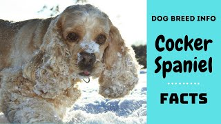 American Cocker Spaniel dog breed. All breed characteristics and facts about Cocker Spaniel dogs