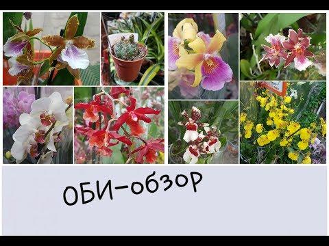 Шикарный завоз орхидей в ОБИ: одонтоглоссумы, дендробиумы, эпидендрумы, зигопеталумы