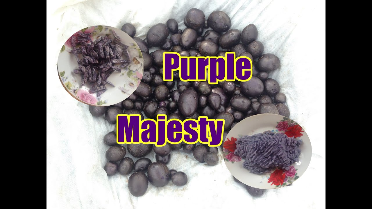 Картофель Purple Majesty - YouTube