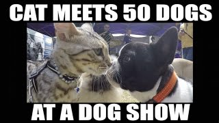 Repeat youtube video Watch this CAT meet 50 dogs at a dog show