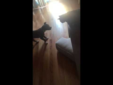 Wow! Cat Vs. Dog (Pit bull vs Bombay Cat )