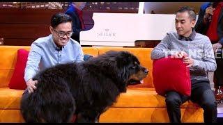 TIBETAN MASTIFF, Anjing Terbesar dan Termahal Di Dunia | HITAM PUTIH (01/02/19) PART 3 MP3