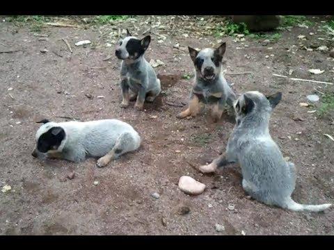 Cachorritos de Pastor Australiano en Rioverde