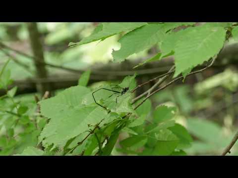 American Pelecinid Wasp,