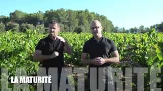 Comment récolter les raisins à la bonne maturité?