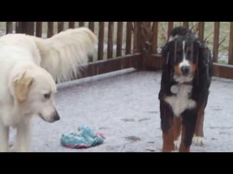 Bernese Mountain puppy and English Cream Golden Retriever play in snow