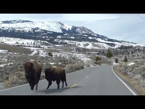 Yellowstone Bison ... On the Run!