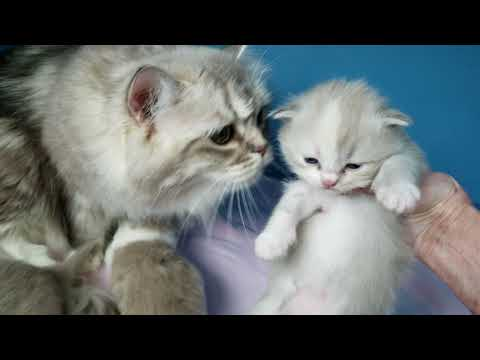 Kaerik RagaMuffin Kittens -so sweet!  www.kaerikrags.com