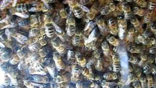 Inside beehive with Queen... orange dot ! ~ Bees Honey Bee Honeybee Hive Honey Pollen Nectar