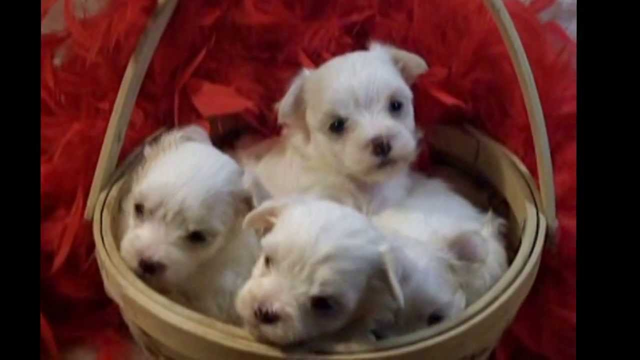 Teacup Maltapootiny Teacup Maltipoo Puppies For Sale Youtube