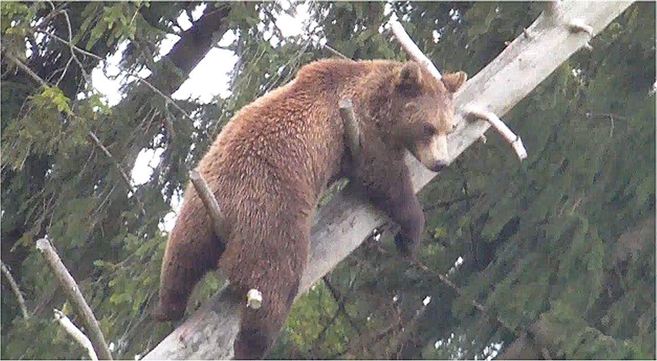 european wolf pups lynxes climbing a tree brown bear climbing bald
