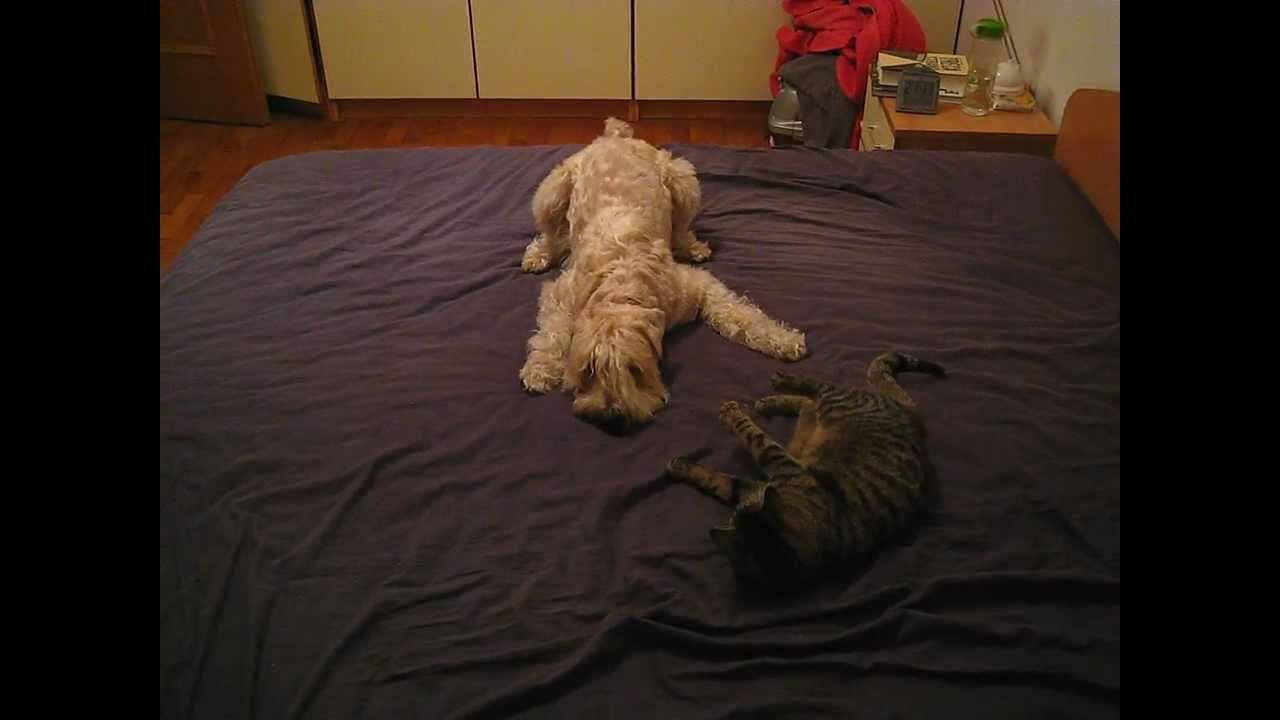 Wheaten terrier and cats