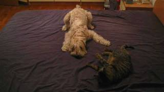 Wheaten Terrier Blondie plays with Mimi the cat (5)