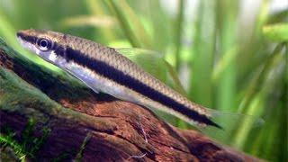 Необычные рыбы, Сиамский водорослеед, Crossocheilus siamensis