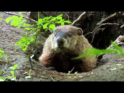 True Facts About The Groundhog